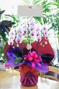リップ咲き胡蝶蘭