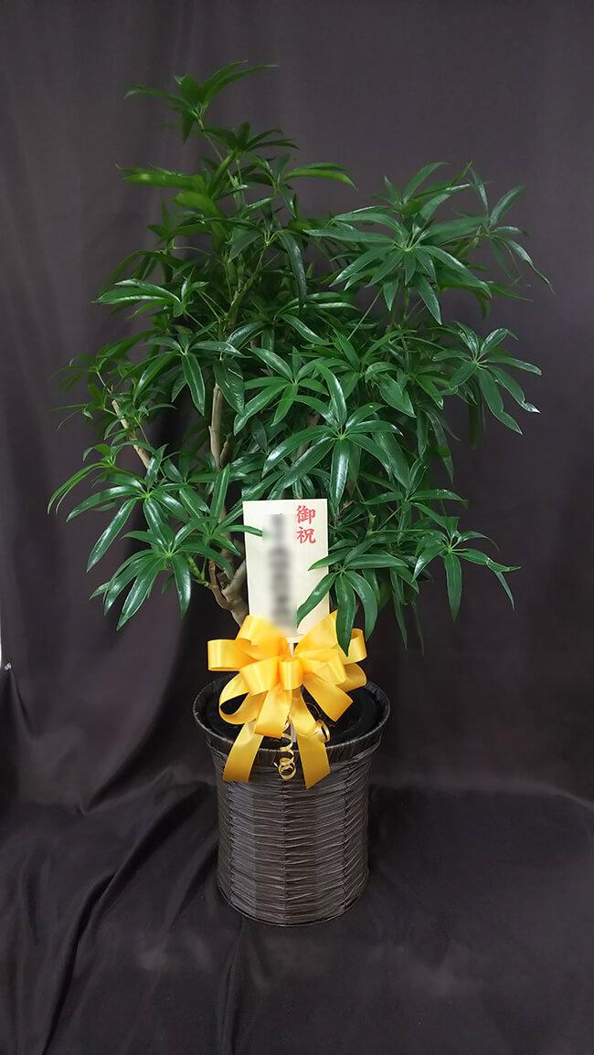 お祝い観葉植物2