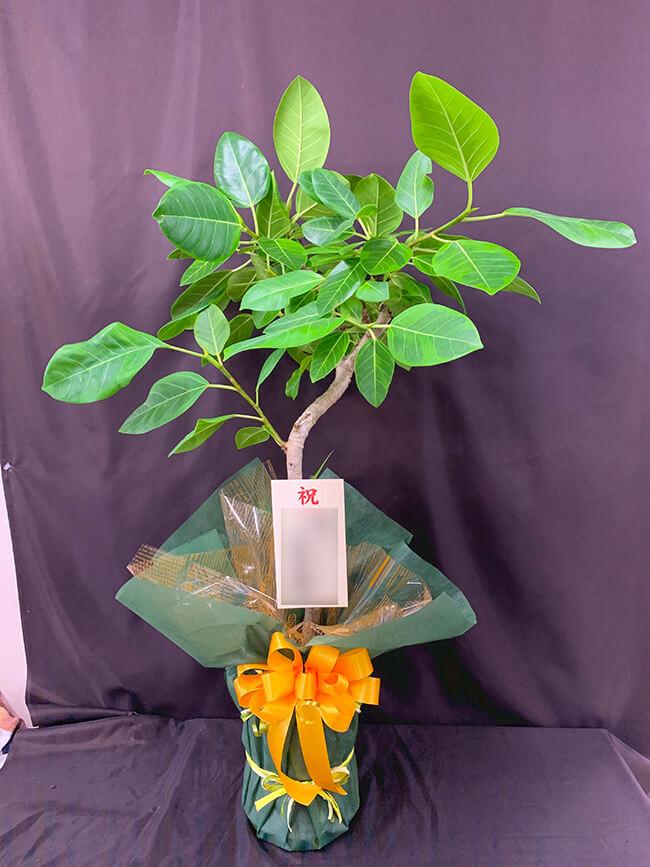 お祝い観葉植物4