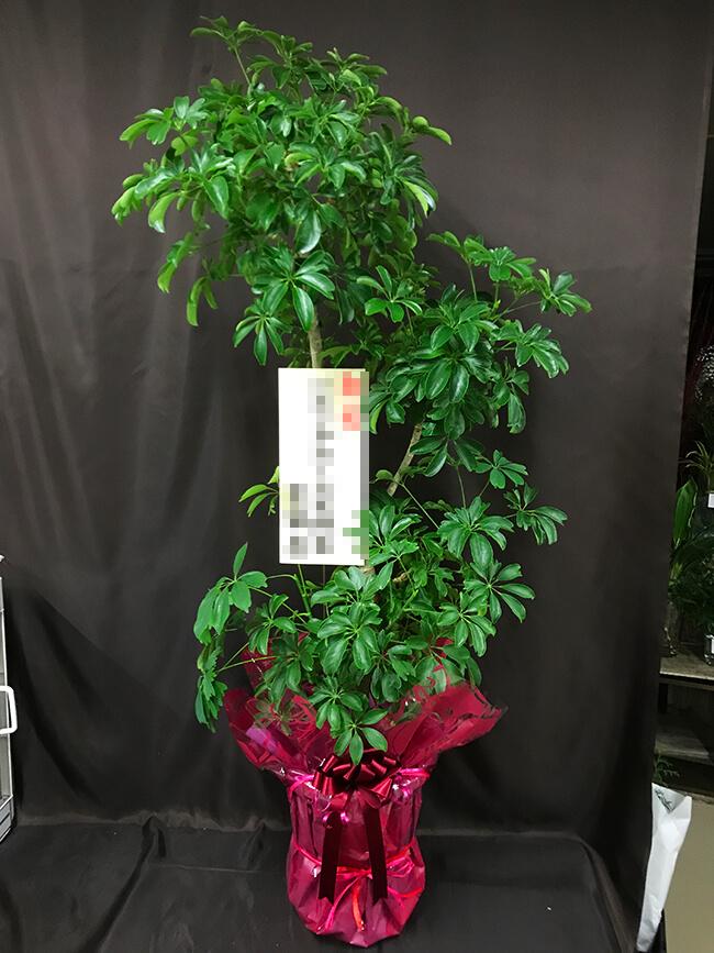 お祝い観葉植物1